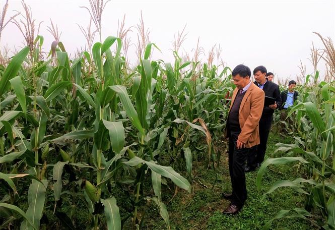 Thử nghiệm một số giống ngô trên đất hai vụ lúa