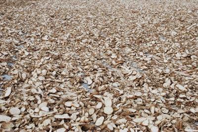 Phú Yên đặt mục tiêu chế biến 113.000 tấn tinh bột sắn niên vụ 2017-2018