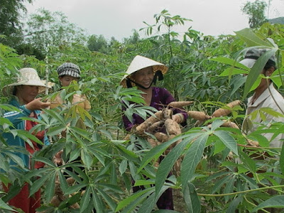 Mì nguyên liệu tăng giá đột biến, nông dân vui 'hết cỡ'